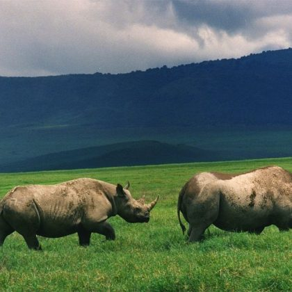 black rihno in the ngoro ngoro crater