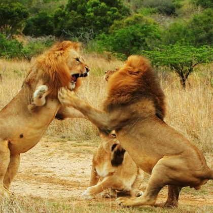 selous lione fight
