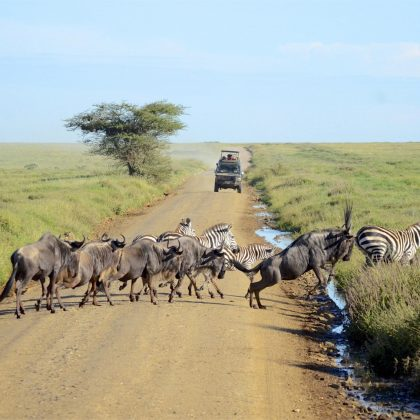ndutu crossing-widebeest