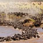 The Great Wildebeest Migration Tracking Calendar