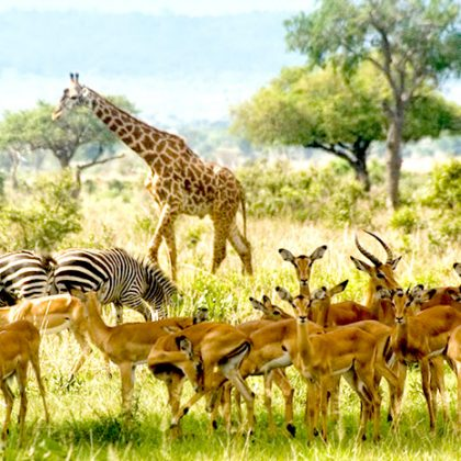 giraffe zabra and impala